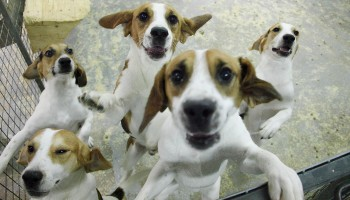 Group of Beagles in a pen