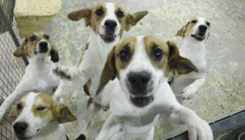 Group of laboratory beagles