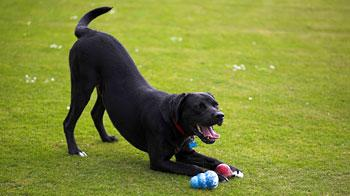 Black Labrador-mastiff cross dog Sidney performing a play bow © James Leggett