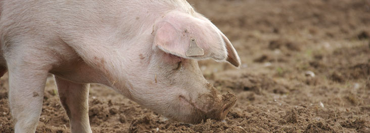 Adult sow rooting in mud on Freedom Food farm © RSPCA Photolibrary