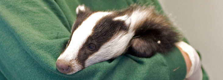 Badger cub recovering from anesthesia at RSPCA West Hatch Wildlife Centre © RSPCA Photolibrary